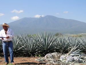 agave field1